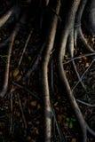 榕树的光和阴影在为n研的森林根源 库存图片