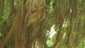 榕树的掀动与气生根 自然本底 股票视频