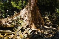 榕树的根 免版税库存照片