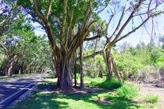榕树被排行的街道在佛罗里达 图库摄影