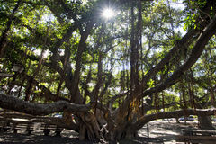 榕树,庭院正方形 在前面街道,毛伊,夏威夷上的Lahaina港口 免版税库存照片