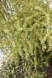 槟榔子或槟榔棕榈在树 库存图片
