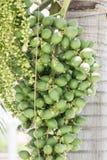 槟榔子或槟榔棕榈在树 免版税图库摄影