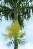 槟榔树开花 库存图片