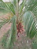 槟榔树棕榈& x22; DIPSIS LUTSCENS 免版税图库摄影