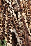 槟榔树蒋酱之叶干螺母片式 免版税库存图片