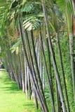 槟榔 免版税库存照片