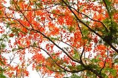 槭叶瓶木或皇家Poinciana树 图库摄影