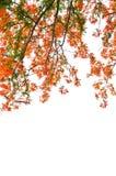 槭叶瓶木或皇家Poinciana树 免版税图库摄影