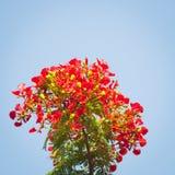 槭叶瓶木花-皇家Poinciana树 库存图片