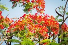 槭叶瓶木花-皇家Poinciana树 免版税库存照片