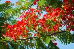 槭叶瓶木花-皇家Poinciana树 免版税库存图片