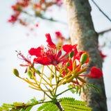 槭叶瓶木花-皇家Poinciana树 图库摄影