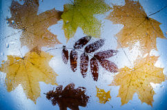 槭树、橡木和花揪下落的秋叶  库存图片