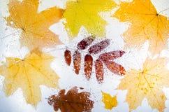 槭树、橡木和花揪下落的秋叶  免版税图库摄影