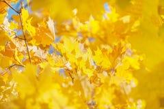 槭树一个美好的背景在秋天与黄色叶子 汽车有他们的被转动的车灯 库存图片
