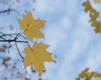 槭树两片黄色叶子反对蓝天的 免版税图库摄影