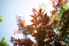 槭树事假 库存照片