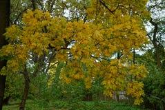槭树分支在有黄色叶子的一个公园 免版税库存图片