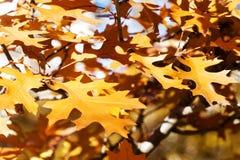 槭树分支褐色叶子 秋天10月晴天公园场面 软绵绵地集中 浅深度的域 免版税库存图片