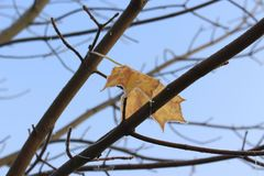 槭树前片结冰的叶子  库存照片