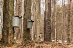 槭树加糖 免版税图库摄影