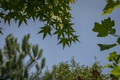 槭树反对天空蔚蓝的Acer Palmatum深绿叶子和其他迷离绿色植物 库存照片