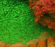 槭树台阶结构树藤 免版税图库摄影