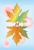 槭树叶子。   免版税库存照片