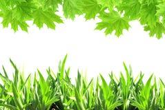 槭树叶子和绿草 免版税库存图片