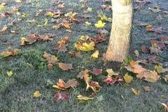 槭树叶子在冷淡的草-秋天颜色落在芬兰 库存图片