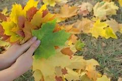 槭树叶子在女性手(秋天)上 图库摄影