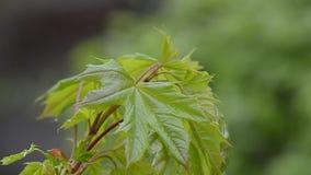 年轻槭树叶子在春天增长 影视素材
