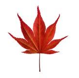 槭树叶子在白色背景的 库存图片
