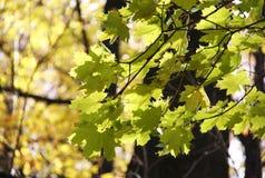 槭树叶子在秋天公园 库存图片
