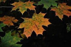 槭树叶子在秋天森林里 免版税图库摄影
