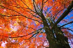 槭树叶子在秋天,加拿大 库存照片