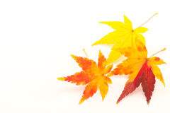槭树叶子在秋天 库存图片