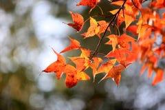 槭树叶子在秋天 库存照片