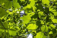 槭树叶子在阳光下 免版税库存照片