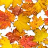 槭树叶子无接缝的纹理  免版税库存图片