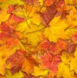 槭树叶子无接缝的纹理  免版税库存照片