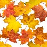 槭树叶子无接缝的纹理  图库摄影