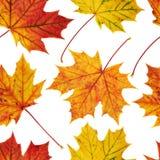 槭树叶子无缝的背景 库存照片