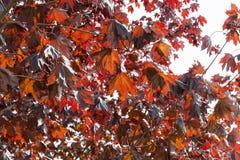 槭树叶子是红色的 免版税库存照片