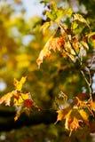 槭树叶子由在槭树的太阳打开了 免版税库存照片