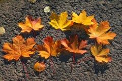 槭树叶子的构成 免版税库存图片