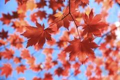 槭树叶子秋季背景  库存照片