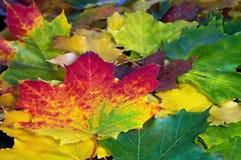 槭树叶子美好的五颜六色的背景  免版税库存照片