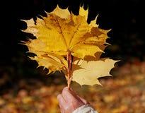 槭树叶子花束  库存图片